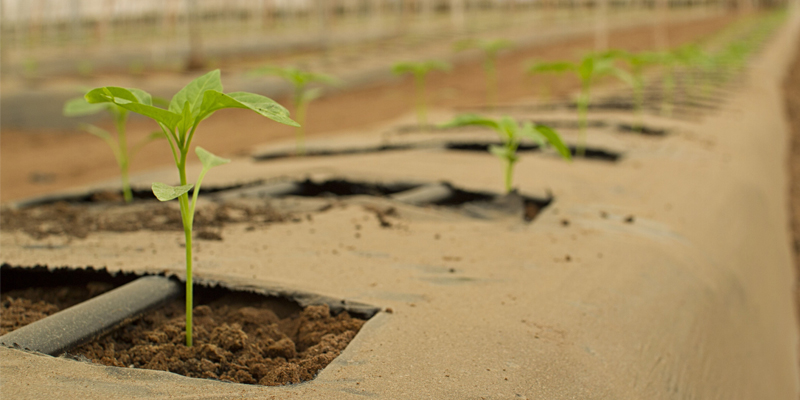 Agricultural planting uses ozone to prevent pests